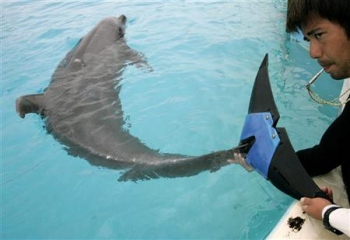 Dolphin Gets Artificial Tail
